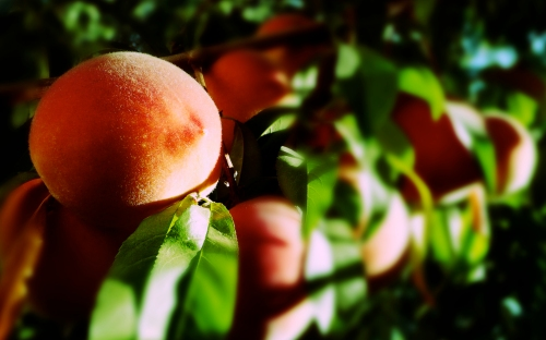 peaches-fruit-tree-image