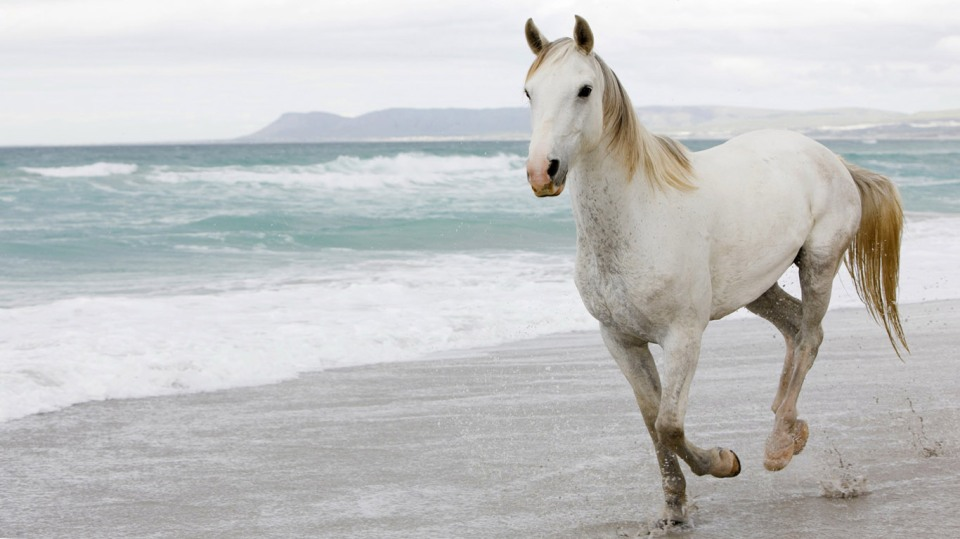 white horse running on beach wallpaper